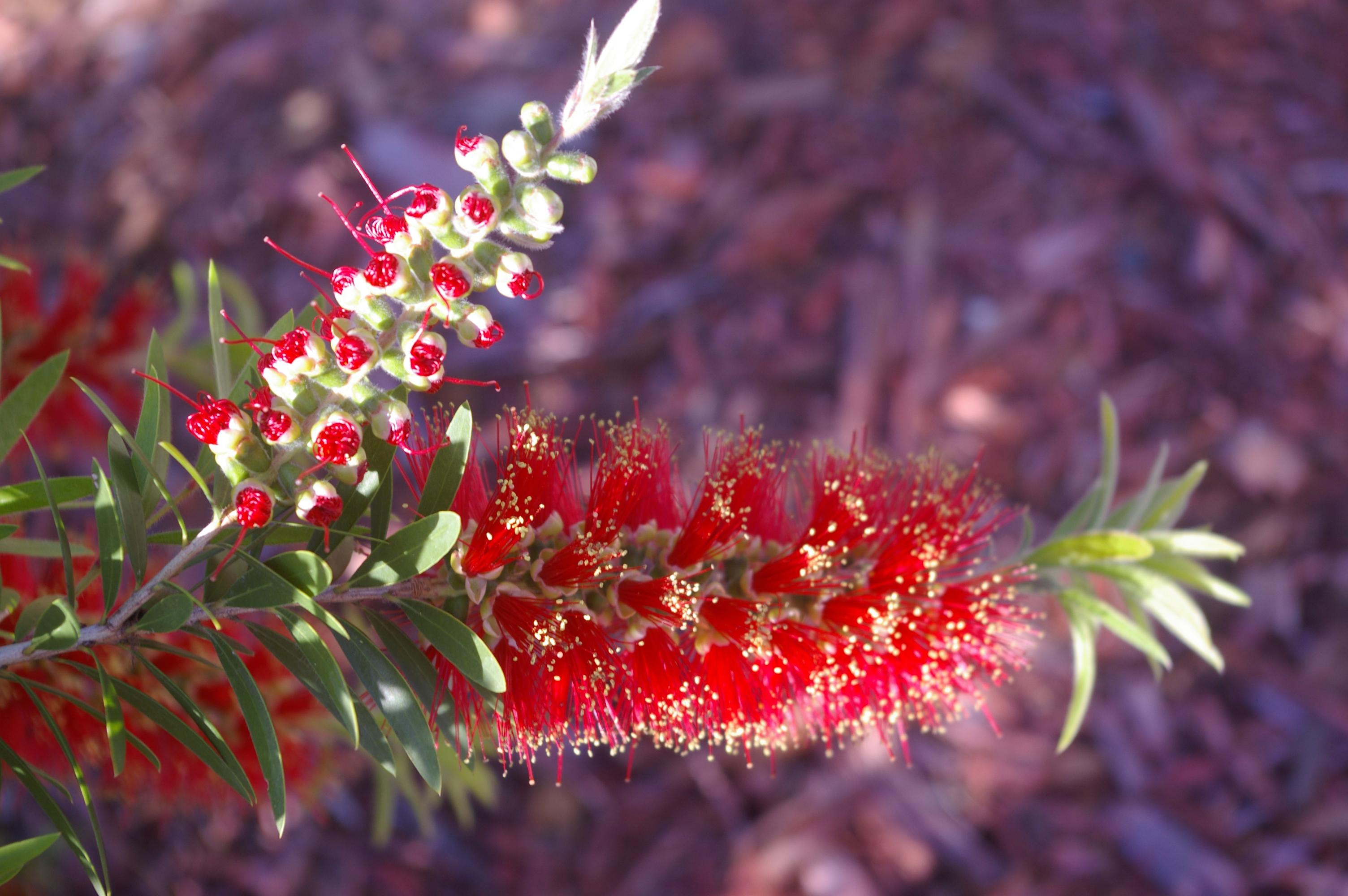 Front Yard Bottle Brush